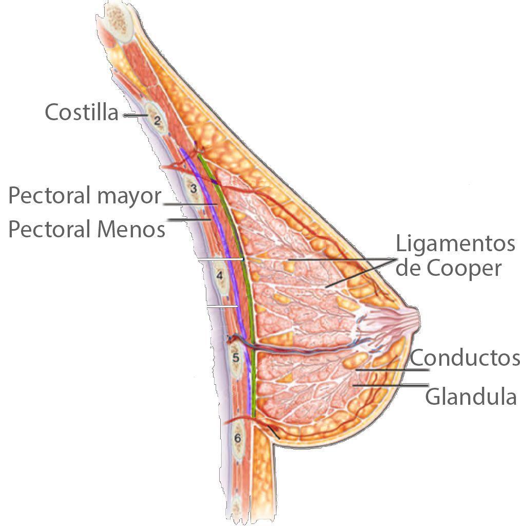 estructura-del-pecho